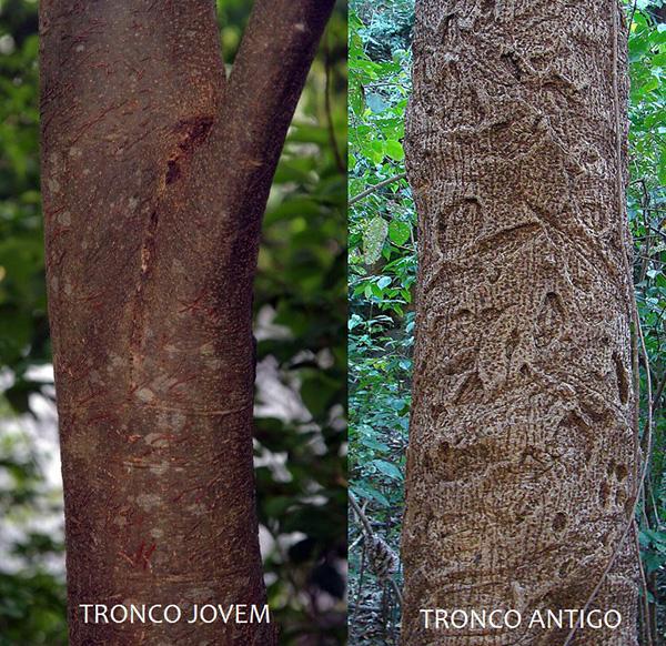 Sementes de Gonçalo Guaritá - Astronium graveolens - Pronta Entrega - Mundo das Sementes