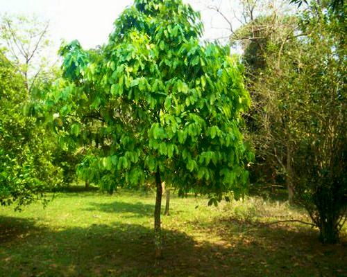 Sementes de Graviola Grande - Annona muricata - Árvore - Mundo das Sementes