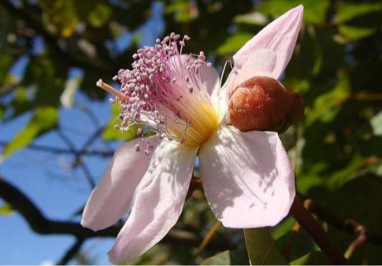 Sementes de Graviola Grande - Annona muricata - Frutífera - Mundo das Sementes