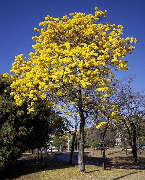 Sementes de Ipê Amarelo de Bola  - Tabebuia ochracea - Mundo das Sementes
