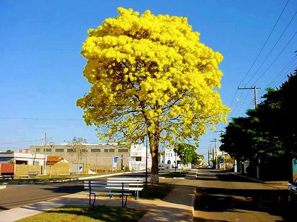 Sementes de Ipê Amarelo de Bola  - Tabebuia ochracea - Atacado - Mundo das Sementes
