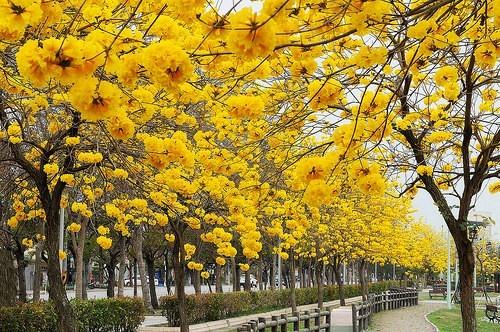 Sementes de Ipê Amarelo Dourado - Tabebuia chrysotricha - Atacado - Mundo das Sementes