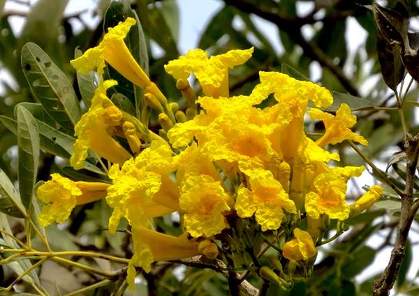Sementes de Ipê Amarelo Gigante - Tabebuia vellosoi - Mundo das Sementes