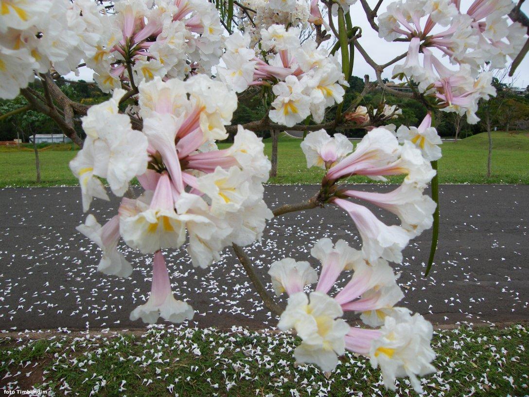 Sementes de Ipê Branco - Tabebuia roseoalba - Atacado - Mundo das Sementes