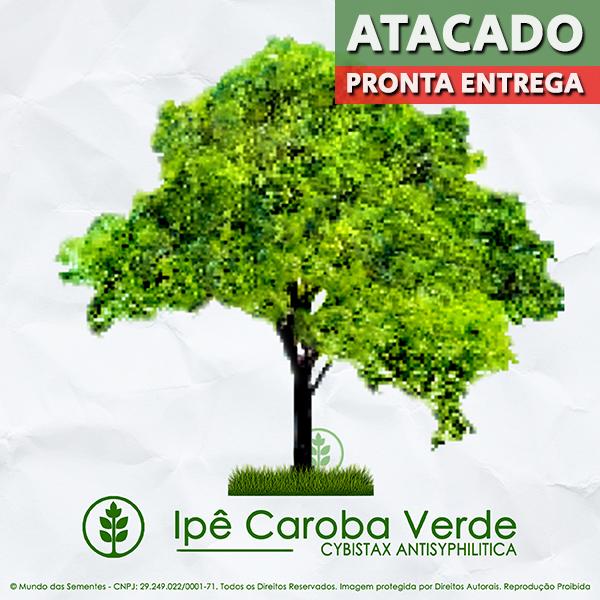 Sementes de Ipê Caroba Verde - Cybistax antisyphilitica - Pronta Entrega - Mundo das Sementes