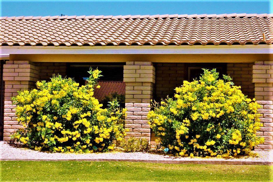 Sementes de Ipê Mirim de Jardim Amarelo (Arbusto) - Tecoma stans - Mundo das Sementes