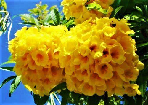 Sementes de Ipê Mirim de Jardim Amarelo (Flores) - Tecoma stans - Mundo das Sementes