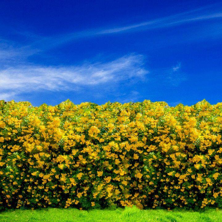 Sementes de Ipê Mirim de Jardim (Cerca Viva) - Tecoma stans - Mundo das Sementes