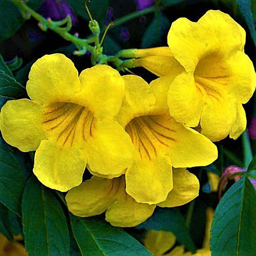 Sementes de Ipê Mirim de Jardim (Árvore) - Tecoma stans - Mundo das Sementes