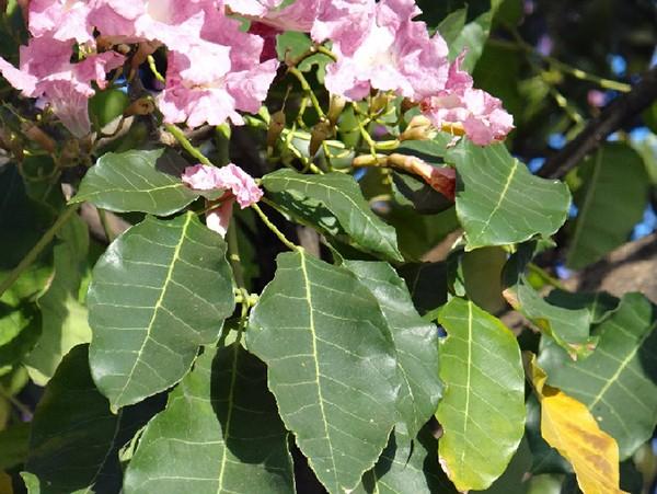Sementes de Ipê Rosa Bálsamo - Tabebuia pentaphylla - Atacado - Mundo das Sementes