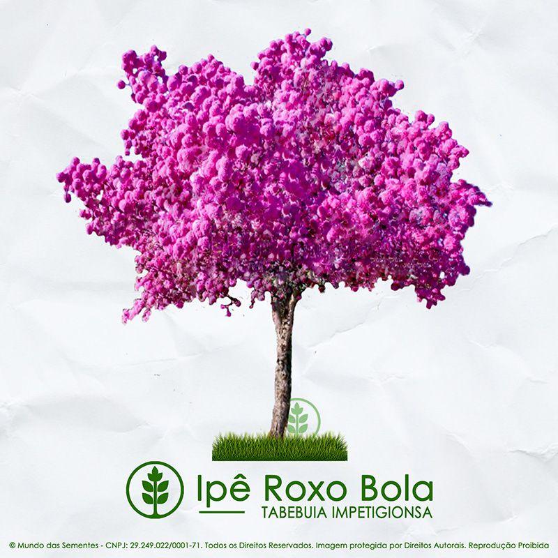 Sementes de Ipê Roxo de Bola - Tabebuia impetiginosa - Mundo das Sementes