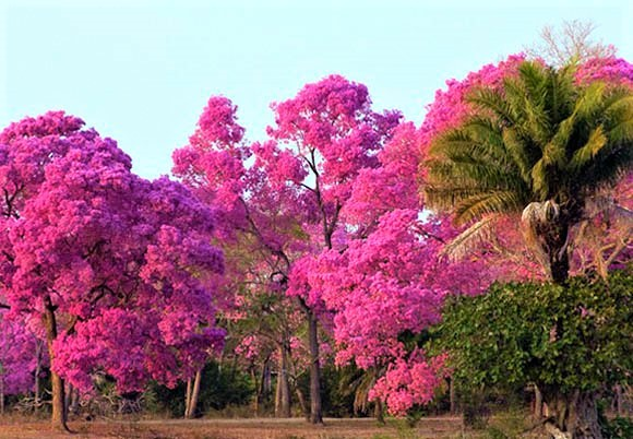 Sementes de Ipê Roxo - Tabebuia heptaphylla - Atacado - Mundo das Sementes