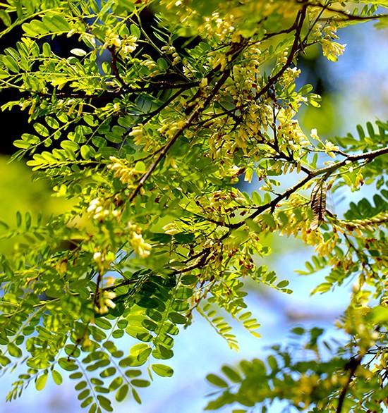 Sementes de Jacarandá Da Bahia - Dalbergia nigra - Atacado - Mundo das Sementes