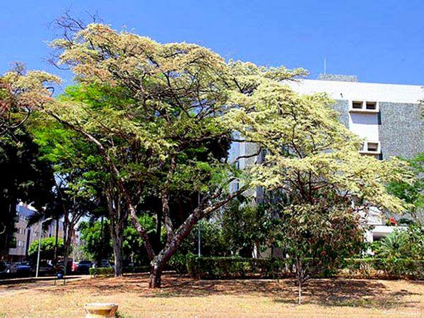 Sementes de Jacarandá Da Bahia - Dalbergia nigra - Mundo das Sementes