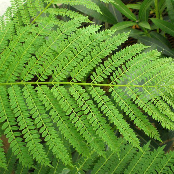Sementes de Jacarandá Mimoso - Jacaranda mimosifolia - Mundo das Sementes