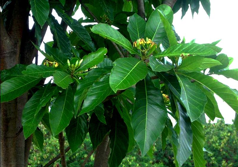 Sementes de Jenipapo - Genipa americana - Frutífera - Mundo das Sementes