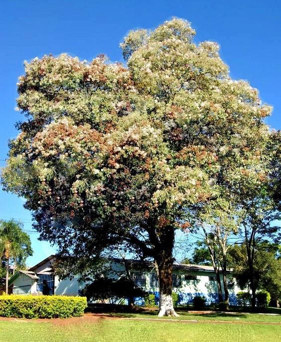 Sementes de Louro Pardo - Cordia trichotoma - Atacado - Mundo das Sementes