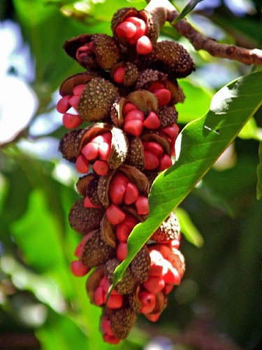 Sementes de Magnólia Amarela - Michelia champaca - Atacado - Mundo das Sementes