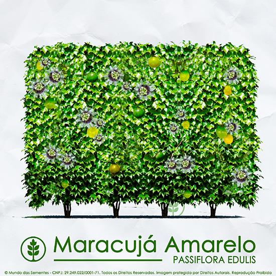 Sementes de Maracujá Amarelo - Passiflora edulis - Cerca Viva - Mundo das Sementes