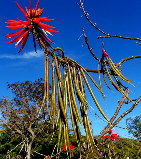 Sementes de Mulungú do Litoral / Eritrina Candelabro (Outono) - Erythrina speciosa - Mundo das Sementes