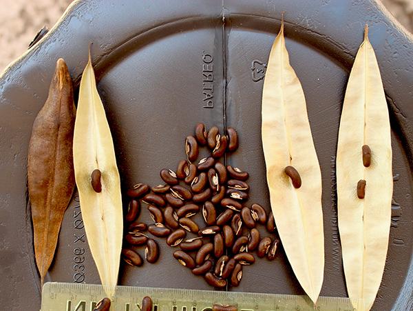 Sementes de Mulungu (Outono) - Erythrina verna (Sin. Erythrina mulungu) - Mundo das Sementes