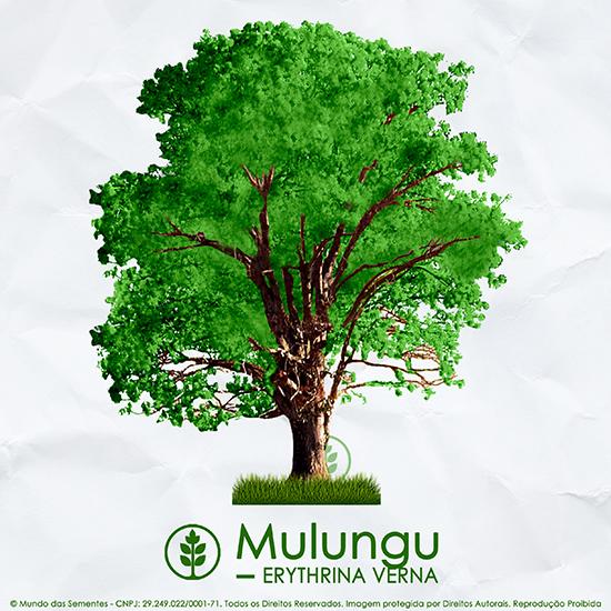 Sementes de Mulungu (Verão) - Erythrina verna (Sin. Erythrina mulungu) - Mundo das Sementes