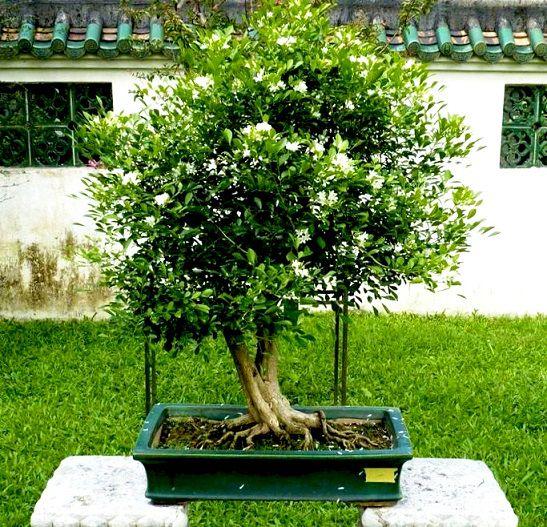 Sementes de Murta de Cheiro (Arbusto) - Murraya Paniculata - Mundo das Sementes