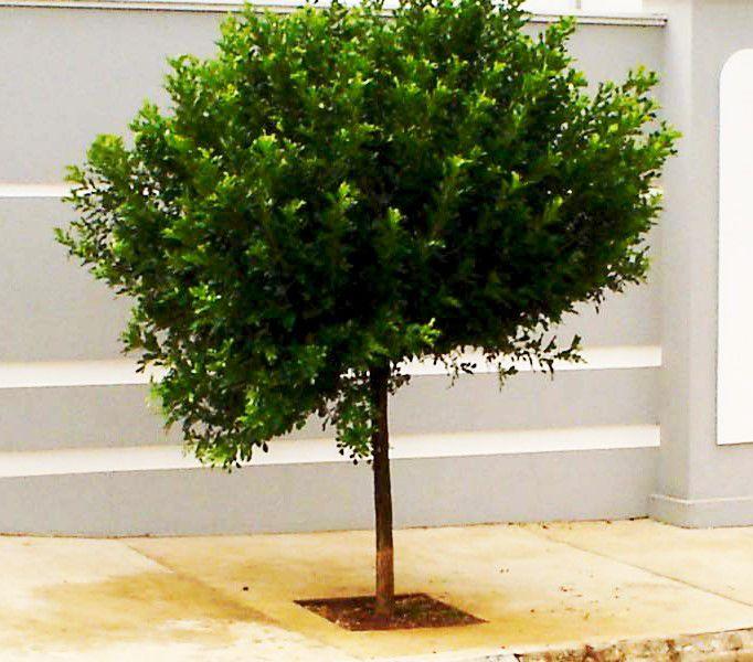 Sementes de Murta de Cheiro (Árvore) - Murraya Paniculata - Mundo das Sementes