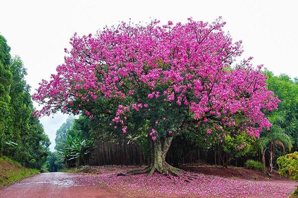 Sementes de Paineira Rosa – Ceiba speciosa - Atacado - Mundo das Sementes