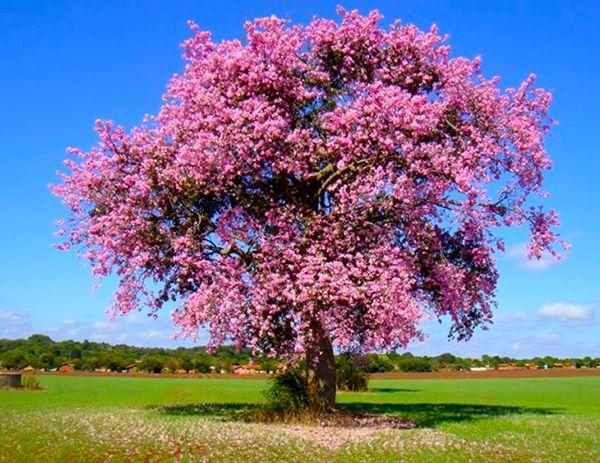Sementes de Paineira Rosa – Ceiba speciosa - Mundo das Sementes