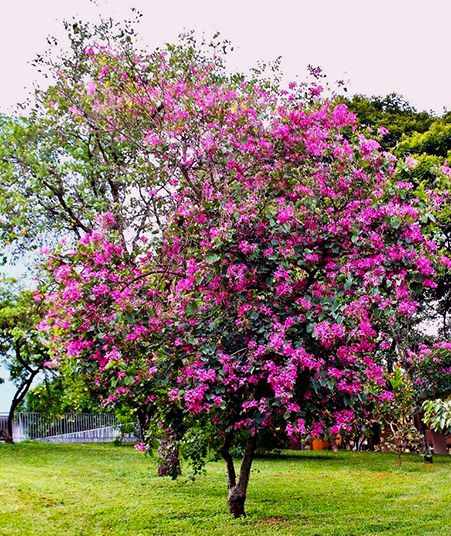 Sementes de Pata de Vaca Roxa – Bauhinia purpurea - Mundo das Sementes