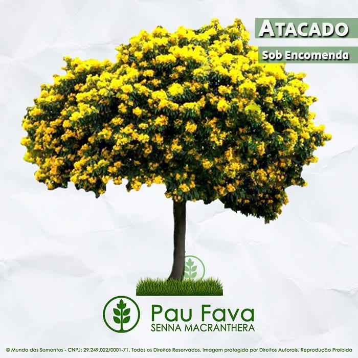 Sementes de Pau Fava / Fedegoso - Senna macranthera - Atacado - Mundo das Sementes