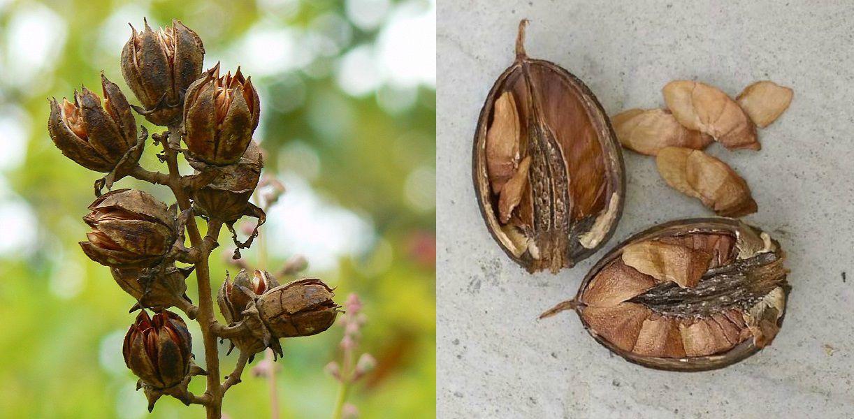 Sementes de Resedá Gigante - Lagerstroemia speciosa - Mundo das Sementes