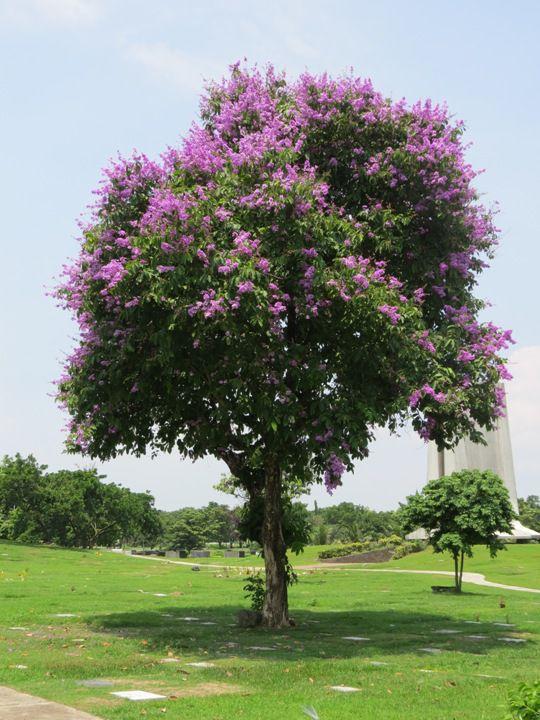 Sementes de Resedá Gigante (Outono) - Lagerstroemia speciosa - Mundo das Sementes