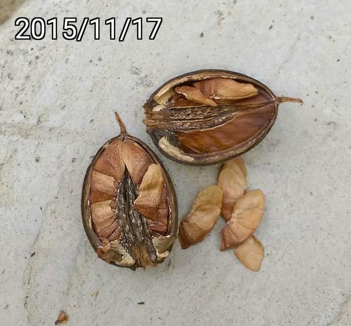 Sementes de Resedá Gigante (Outono) - Lagerstroemia speciosa - Pronta Entrega - Mundo das Sementes