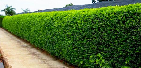 PRÉ VENDA - Sementes de Sansão do Campo (Arbusto) - Mimosa caesalpiniifolia - Mundo das Sementes