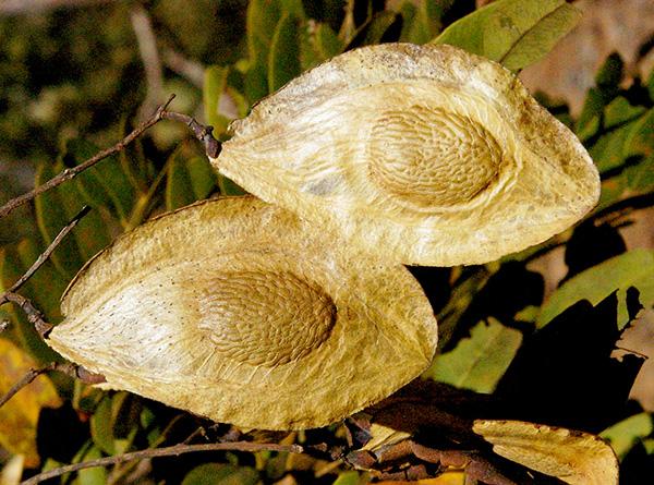 Sementes de Sucupira Branca  Pterodon emarginatus - Mundo das Sementes
