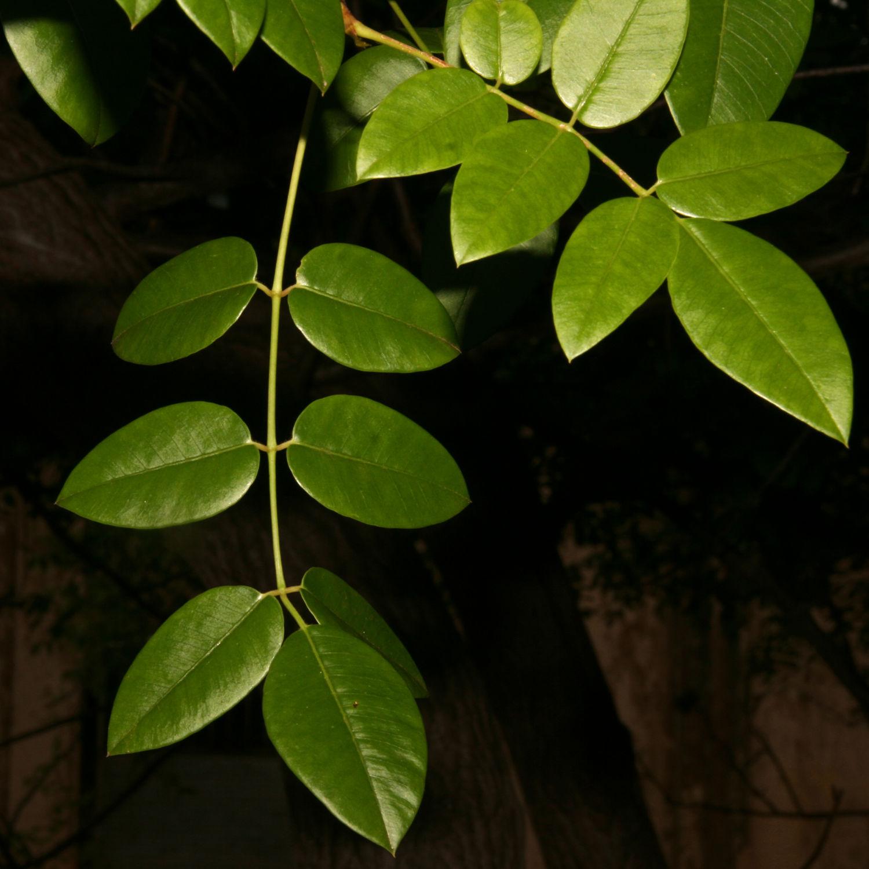 Sementes de Umbú - Spondias tuberosa (Verão) - Árvore - Mundo das Sementes