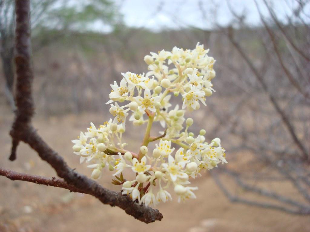 Sementes de Umbú - Spondias tuberosa (Outono) - Árvore - Mundo das Sementes