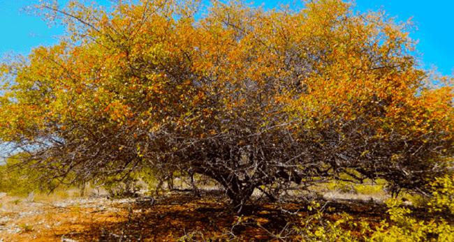 Sementes de Umbú - Spondias tuberosa (Primavera) - Árvore - Mundo das Sementes