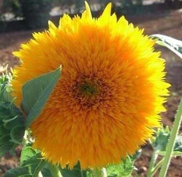 Sementes de Girassol Dobrado Anão Sungold Amarelo - Feltrin