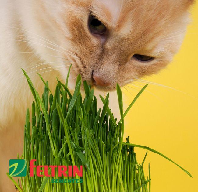 Sementes de Grama dos Gatos - Feltrin
