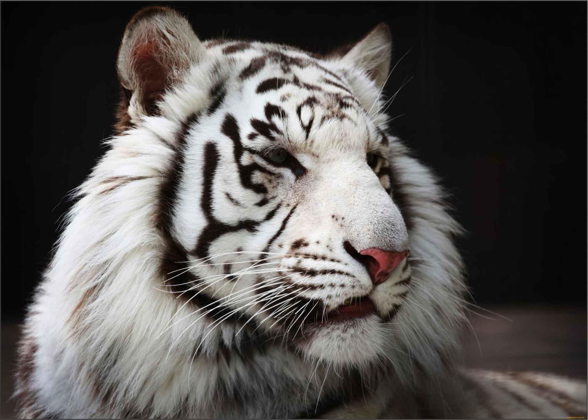 Papel De Parede 3D | Animais  0005 - Adesivo de Parede  - Paredes Decoradas
