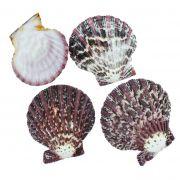 Concha - Gloria Pallium (Scallop Shell)