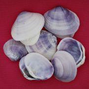 Concha - Mactra Violacea 2'' (Violet Clam)