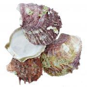 Concha - Spondyllus Barbatus Violet