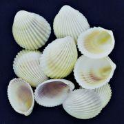 Concha - White Cockles 1,5'' (Trachycardium Flavium)