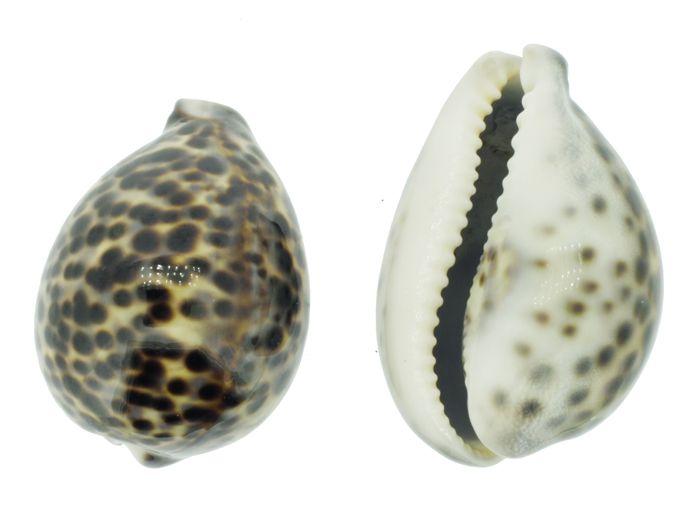 Búzio - Tiger - 01 Unidade  - Stéphanie Bijoux® - Peças para Bijuterias e Artesanato