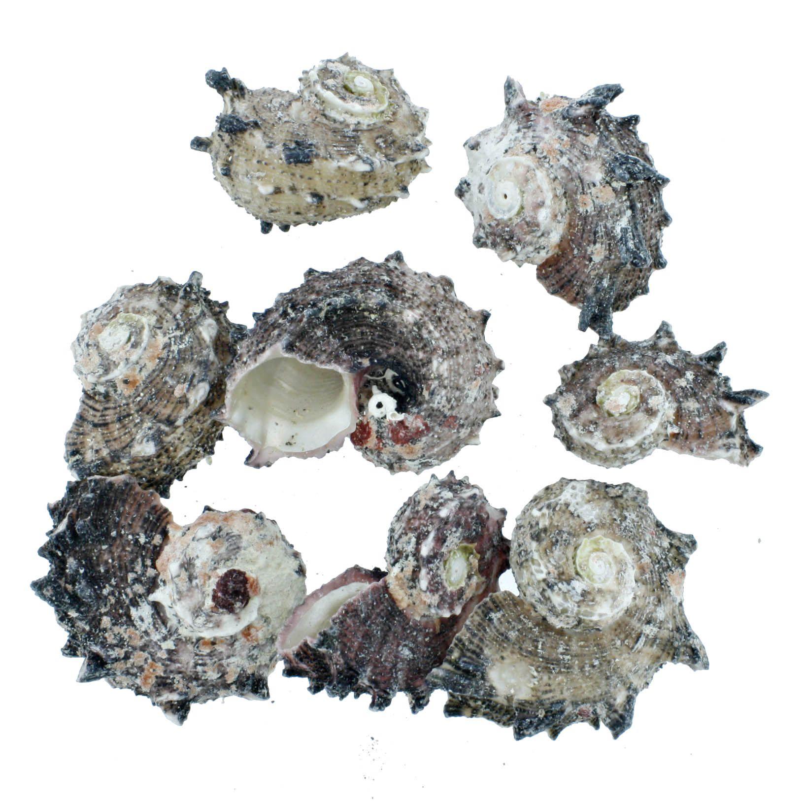 Concha - Angaria Shell (Delphinus)  - Stéphanie Bijoux® - Peças para Bijuterias e Artesanato