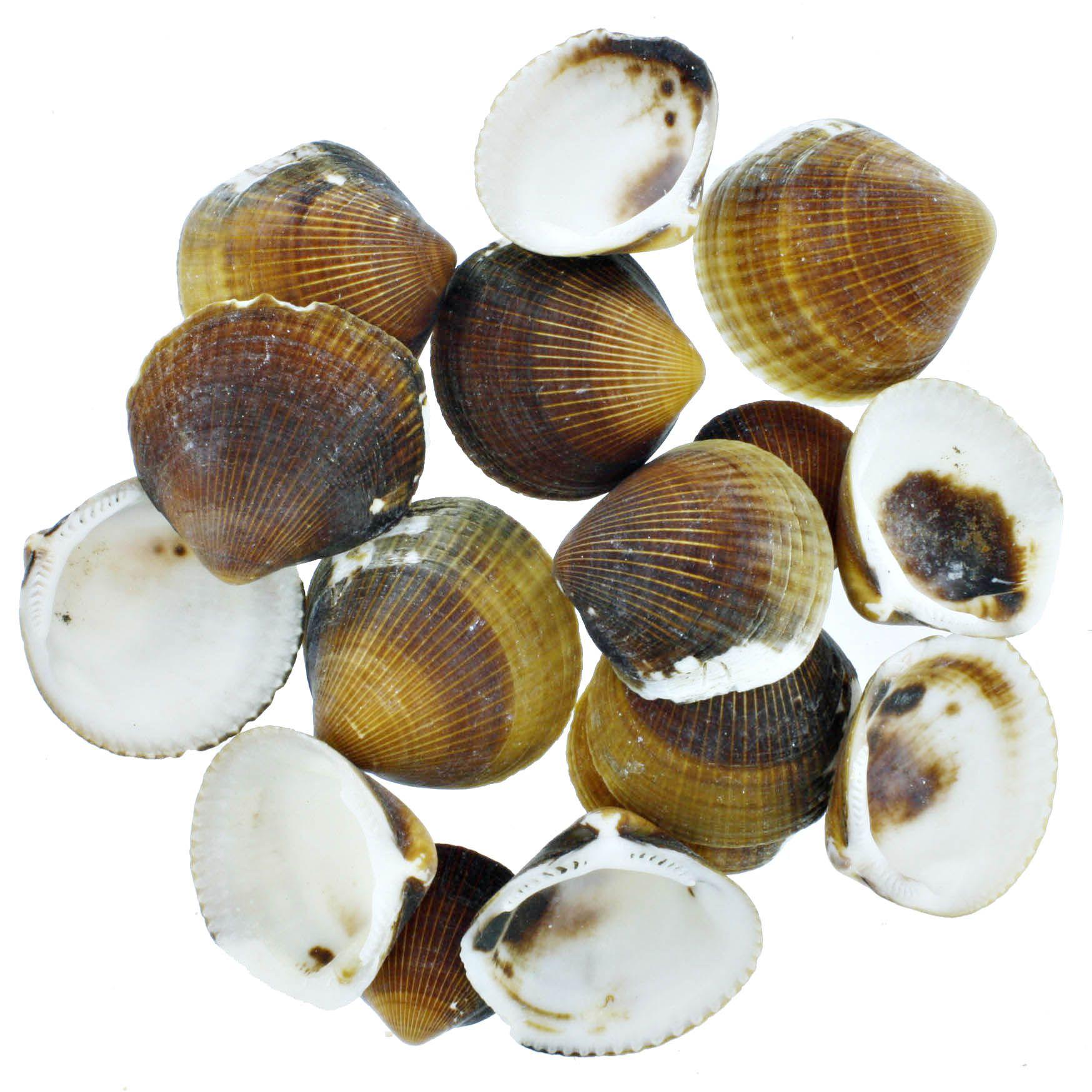 Concha - Brown Cockles (Glycymeris Reevei)  - Stéphanie Bijoux® - Peças para Bijuterias e Artesanato